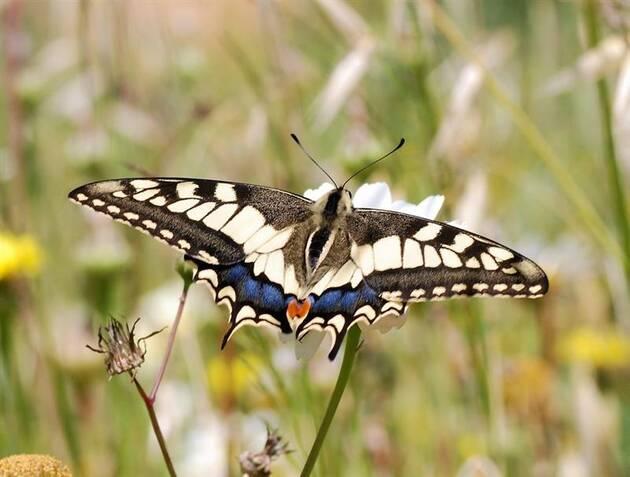 La population de papillons a chuté de moitié en 20 ans en Europe .